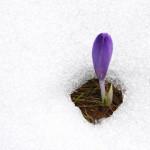 1. Herald of spring