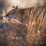 Max-van-Son_Netherlands-Fire-Fox_FIAP-Honorable-mention